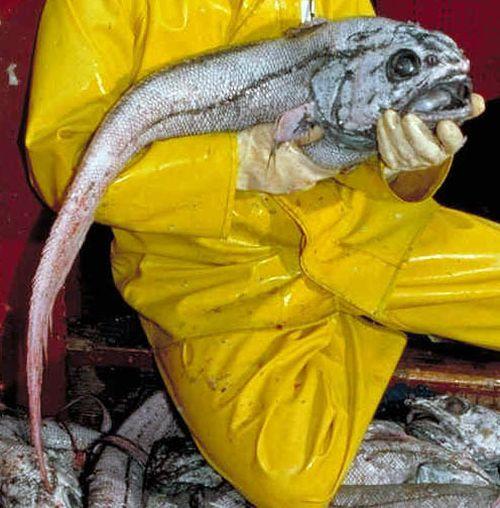 Прикол про рыбу счленом 11 фотография